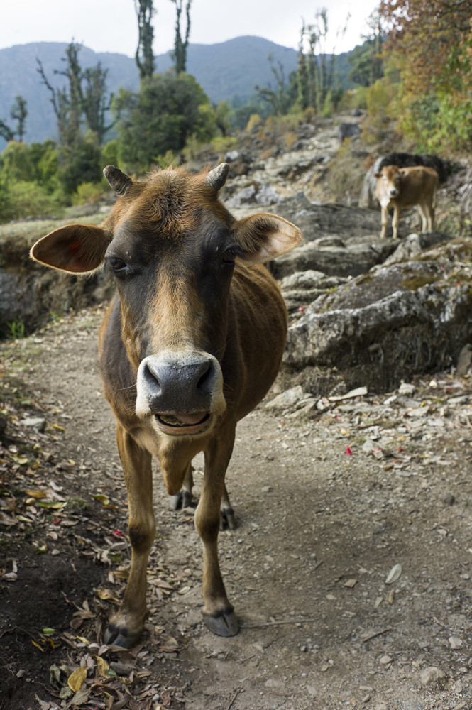 A friendly cow and her calf wander along the trail