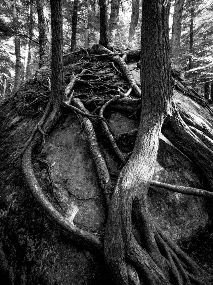 Tree roots strangling a rock on the Rooster Comb trail